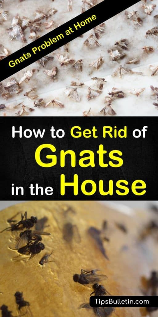 2 Fast Easy Ways To Get Rid Of Gnats In The House How To Get Rid Of Gnats Get Rid Of Flies Fruit Flies In House