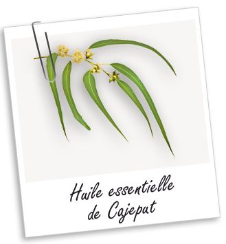 Purifiante, l'huile essentielle de Cajeput est réputée pour son efficacité contre les infections respiratoires en massage sur le thorax. Elle s'utilise aussi comme décongestionnant veineux et tonique cutané.