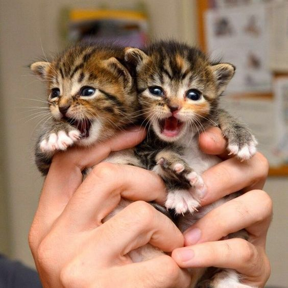 Kitten Season What To Do If You Find Kittens Chats Et Chatons Animaux Mignons Bebes Animaux