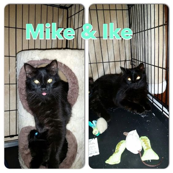 Ansonia Animal Shelter **courtesy post** these two boys are not with the shelter..  Mike and Ike are great boys that needs their forever homes. They were rescued from the streets and now are looking for a family or two to adopt them...  Both love other cats and would need a quiet home to adjust and relax in. They do not need to be adopted together but it would be great if they did. They are strictly indoor only cats. They are both completely vetted and negative for all diseases.