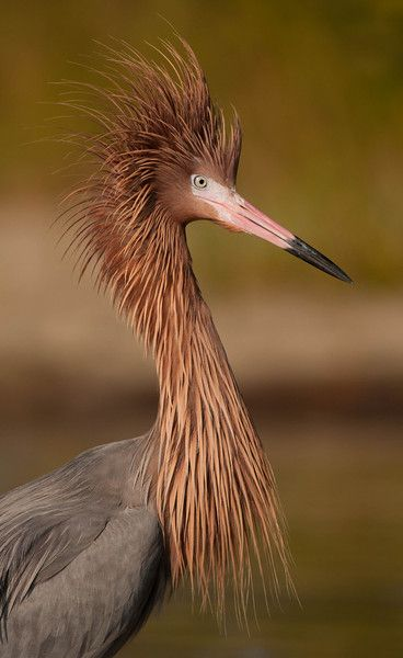"""Reddish Egret And God said, """"Let the waters swarm with swarms of living creatures, and let birds fly above the earth across the expanse of the heavens."""" Genesis 1:20"""