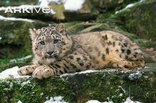 Snow leopard cub lying on rock