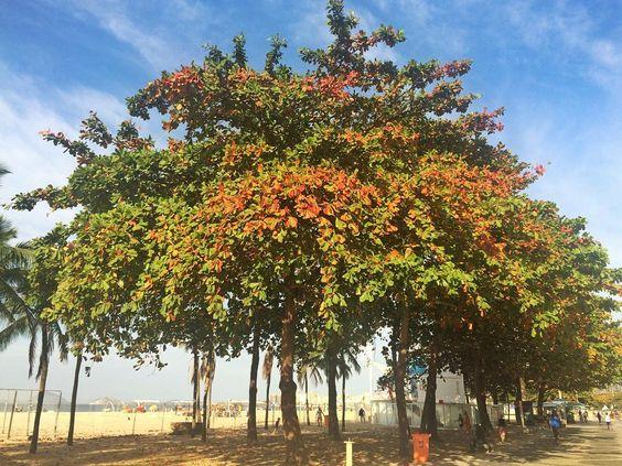Cores do inverno no Rio. As amendoeiras são árvores deciduas trazidas para o Brasil no tempo do império para dar um ar parisiense à cidade #riodejaneiro #tree #amendoeira #copacabana copacabanabeach