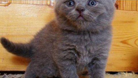قطط للبيع في دبي قطط بريطانية قصيرة الشعر مرحة من أجل Rehoming تواصل عبر الواتساب 17549007419 لدينا قطط بريطانية قصيرة جميلة من الذكور والإ Cats Animals