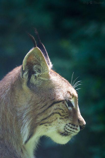 burning-soul: lynx in profil
