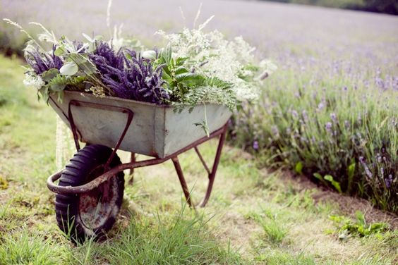 wheelbarrow full of lavender...