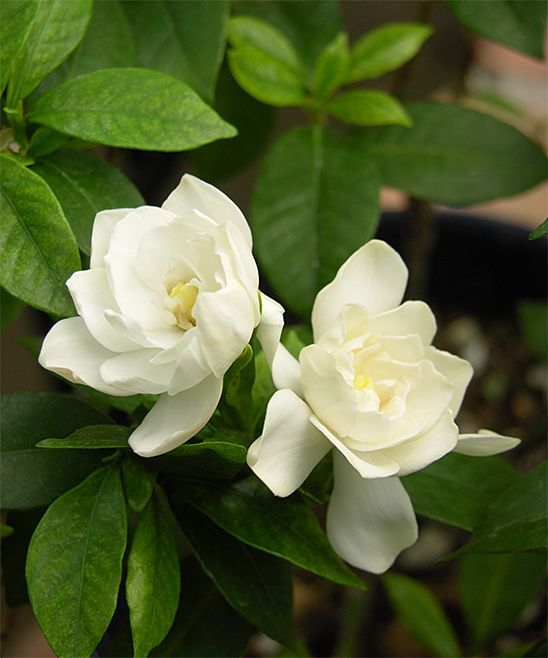 Live 'August Beauty' Gardenia Plant. These heavenly scented white blooms exude an intoxicating fragrance sure to stop passersby in their tracks! Boasting a longer bloom time than other gardenias, this August Beauty gardenia has double-petal flowers that pop against the dark green foliage. A sun loving plant that performs well in containers, August Beauty can also be grown as a shrub in warmer zones 7 and up. The perfect addition of southern charm to your landscaping!Includes one actively growing