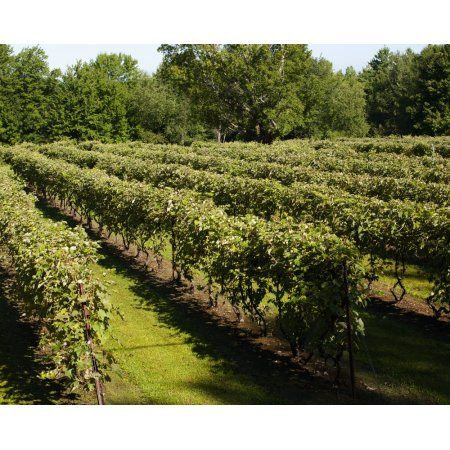 Vineyard Dunham Quebec Canada Canvas Art - David Chapman Design Pics (17 x 13)