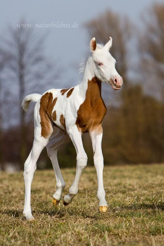 Love this baby horse......Blue eyed Pintabian ( paint ...