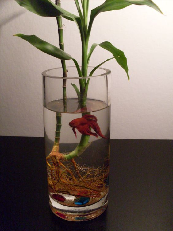 Bamboo betta bowl habitat colored stones glass vase by for Betta fish vase