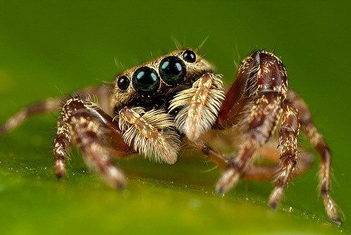 Most Portia Spiders Don T Spin Webs Like Other Spiders Instead They Prefer To Act Like Helpless Prey Caught In Anothe Types Of Spiders Pet Spider House Spider
