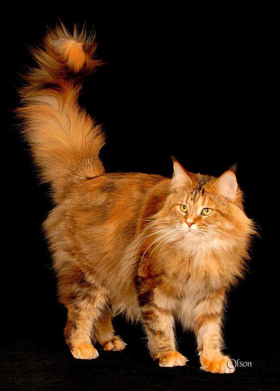 mixed siamese cat