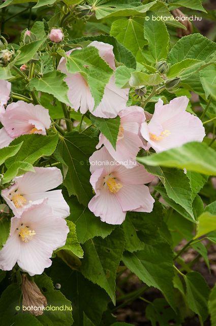 http://www.botanikaland.hu/hibiscus-moscheutos/mocsari-hibiszkusz/
