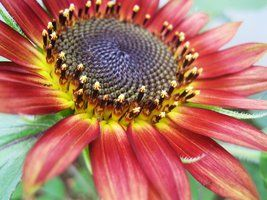 Red Sunflower by ~LouieLovell