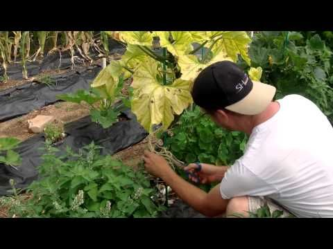 When Is A Squash Plant Finished Producing? - http://foodscape.tips/when-is-a-squash-plant-finished-producing/
