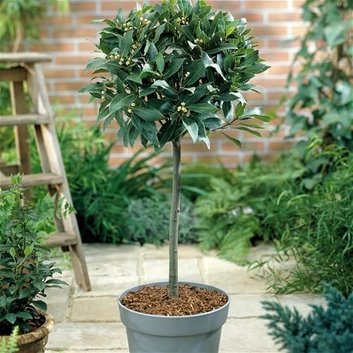Bay Laurel tree standard - make sure you get an edible variety: