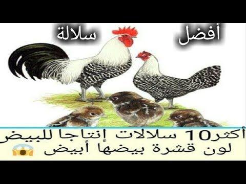 أفضل 10 سلالآت دجاج لون البيضة أبيض Youtube Rooster Animals