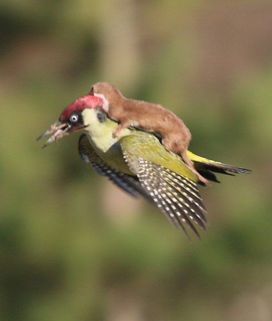 10 Animals That Became Internet Sensations | Weasel and the Woodpecker: