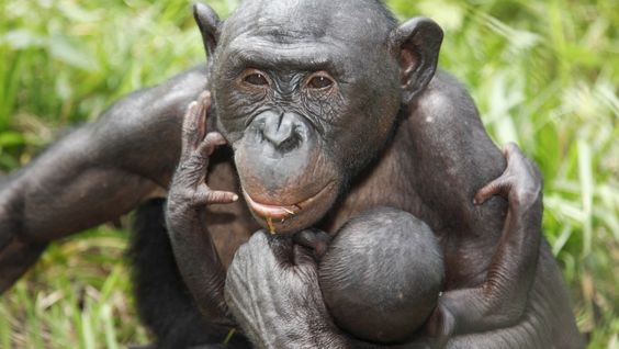 Our Bonobo for WWF Austria