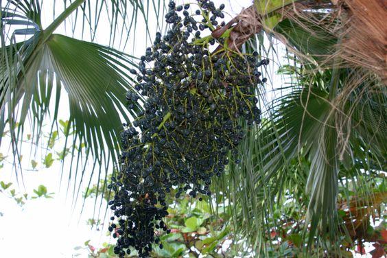 ¿Qué es Acai berry?