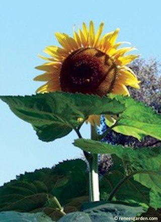 how to grow giant sunflowers in pots