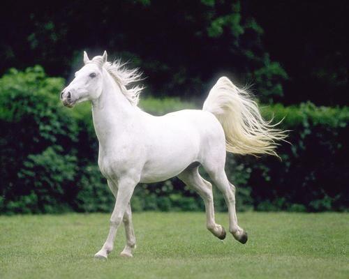 تفسير الحصان الابيض في الحلم معنى الحصان الابيض في المنام Most Beautiful Horses White Horses Horse Photos