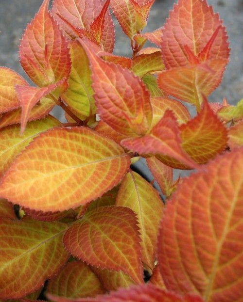 Hydrangea 'Mountain Mania', one from Opus Plants