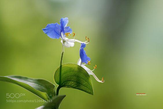 Twin - Pinned by Mak Khalaf Nature blacksharkblueflowergreenkoreamacronaturewild flower by shark0916