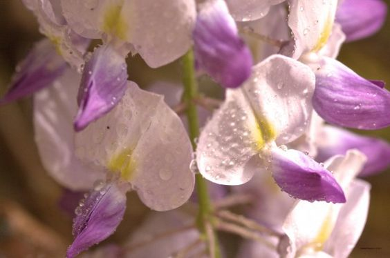 Tuscan wisteria: Nature Flowers, Tuscan Wisteria, Secret Garden, Garden Flowers, My Son