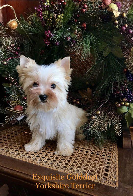Yorkshire Terrier Puppies Va Exquisite Yorkshire Terrier Yorkshire Terrier Puppies Yorkie Puppy Yorkshire Terrier Dog