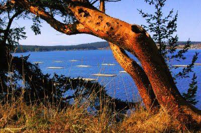 Madrona Tree - Whidbey Island, WA