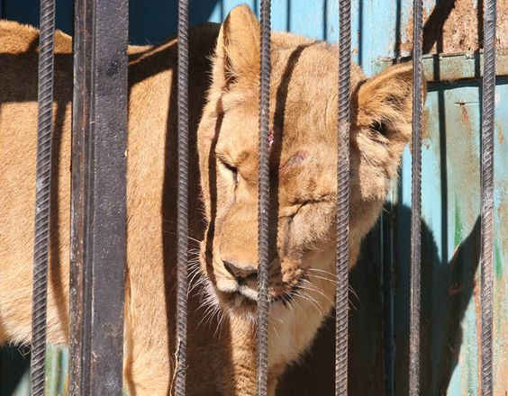 Heartbreaking images of caged lions, bears and guinea pigs who survive only on scraps given to them by an elderly couple at the world's saddest zoo in Armenia.