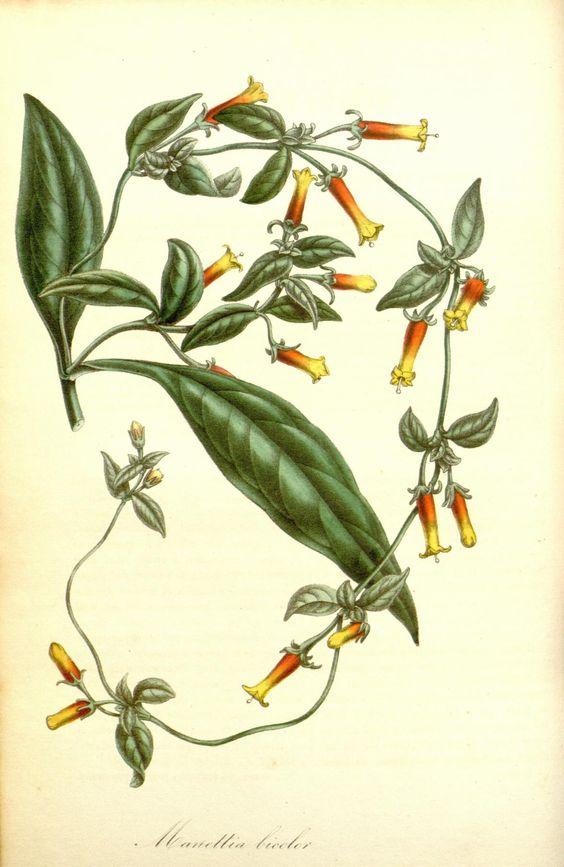 Manettia bicolor