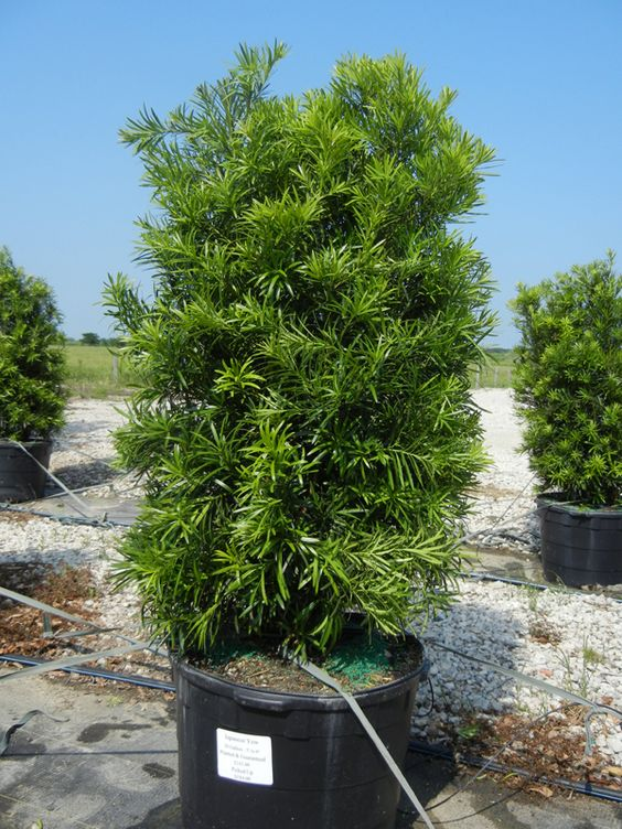 Japanese yew 30 gallon podocarpus exteriors for Garden yew trees