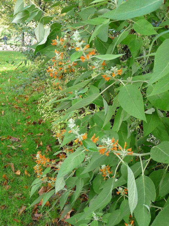 Surprenante floraison orange d un arbuste dans les jardins for Arbuste de jardin