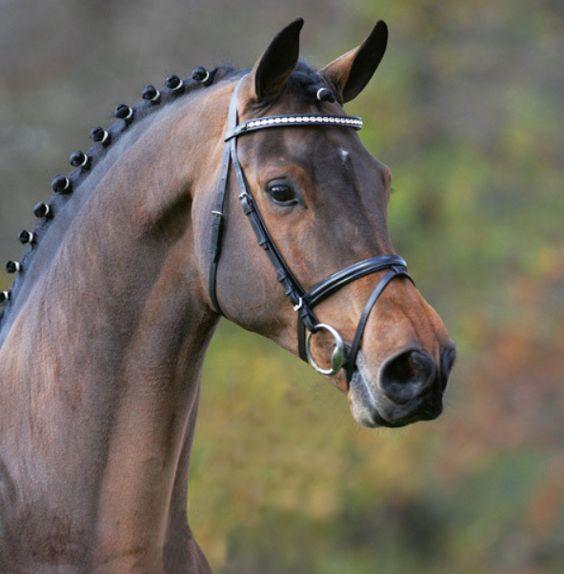 Champion De Cord | Holsteiner Stallion:
