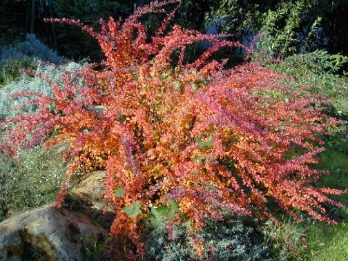 Low maintenance landscaping plants japanese barberry for Low maintenance bushes for shade