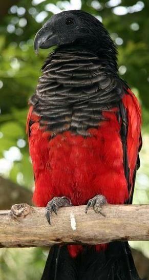 美しい鳥 アラゲインコ