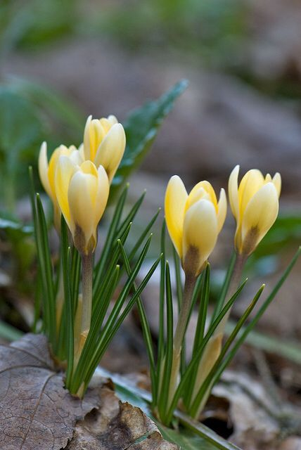 yellow 'Crocus' in the woods, near Rose cottages and gardens, Britain