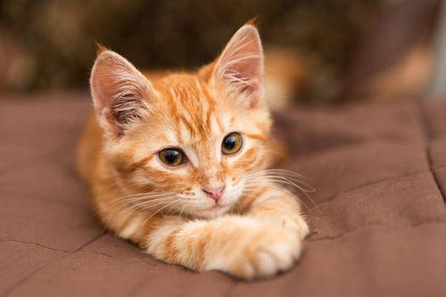 Seperti Apa Perilaku Kucing Tabby Oranye Alias Kucing Oren Gerava Ikan Hias Burung Kicau Kucing Anjing Di 2021 Kucing Tabby Kucing Dan Anak Kucing Piaraan