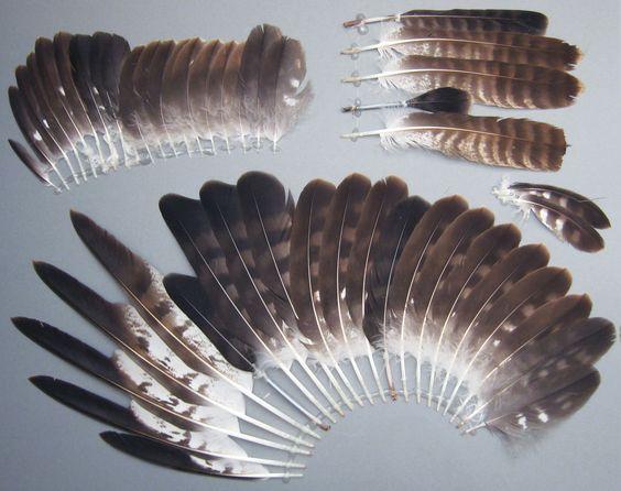 Vogelfedern der Art Buteo buteo (Mäusebussard)