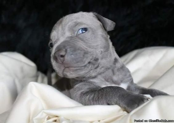 Blue pit pups - Classified Ad