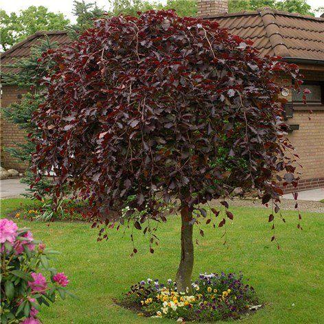 Prydnadsträd rödaktigt