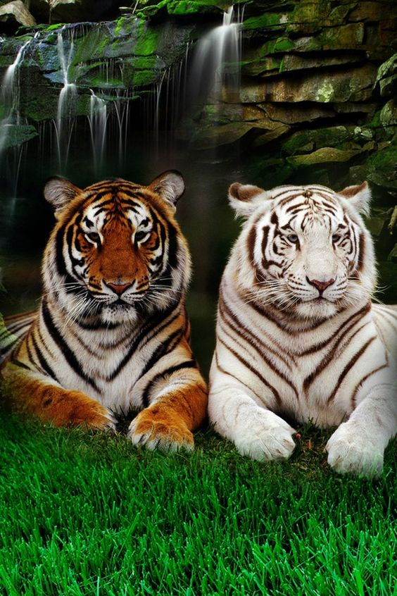 tigers <3