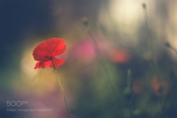 poppy is dancing with summer by plonska. @go4fotos