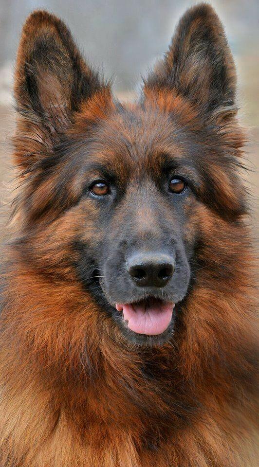 German Shepherd Facts Schaferhunde Hunde Und Schwarzer