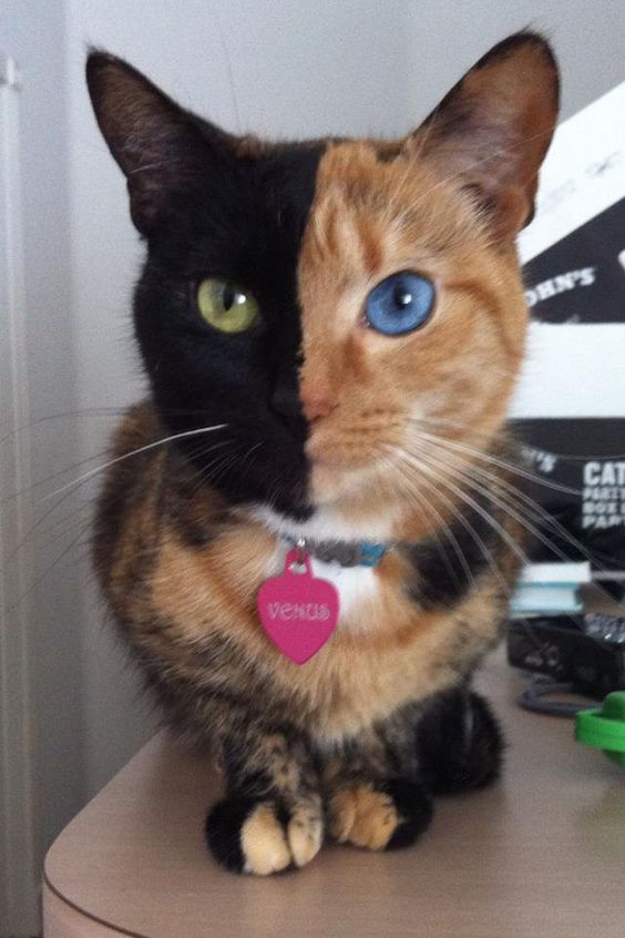 Chimera cat is one individual organism, but genetically its own fraternal twin. A chimera is typically formed from four parent cells (either two fertilized eggs, or two early embryos that have fused together). When the organism forms, the cells that had already begun to develop in the separate embryos keep their original phenotypes and appearances. This means that the resulting animal is a mixture of tissues and can look like this gorgeous (but bizarre) kitty.:
