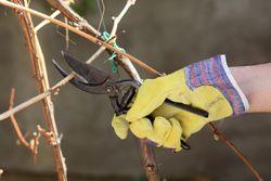 Wenn Sie Weinreben im Garten pflanzen möchten, müssen Sie sich darüber im Klaren sein, dass diese auch viel Pflege benötigen. Dazu gehört z.B. auch der Rückschnitt.Nicht nur im Weinberg, sondern auch im heimischen Garten ist ein regelmäßiger Rückschnitt notwendig, um die Reben zu erziehen. Sie beeinflussen dadurch nicht nur die Form, sondern fördern dadurch auch das Wachstum und den Er ...