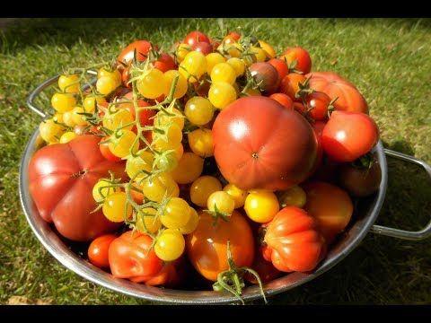 Vom Keimling Bis Zur Kostlichkeit Die Eigenen Tomaten Youtube Tomaten Sorten Tomaten Ernten Tomaten Anbauen