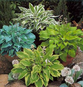 hostas for the shade